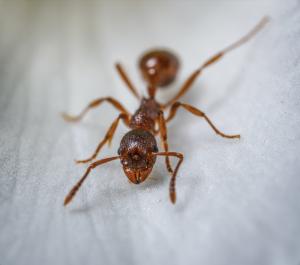 Skiatook Ant Control