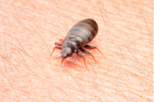 Bed bug being detected